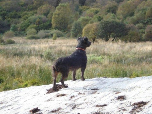 Black wire-haired terrier lost in Macroom - Munster Lost ...